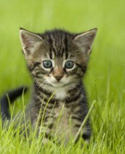 Grey Tabby Kitten Green Grass