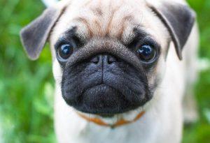 Pug up close looking at screen