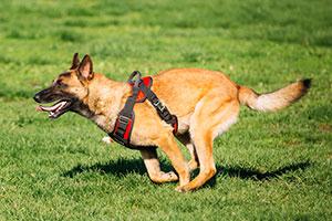 Adult Dog Jog